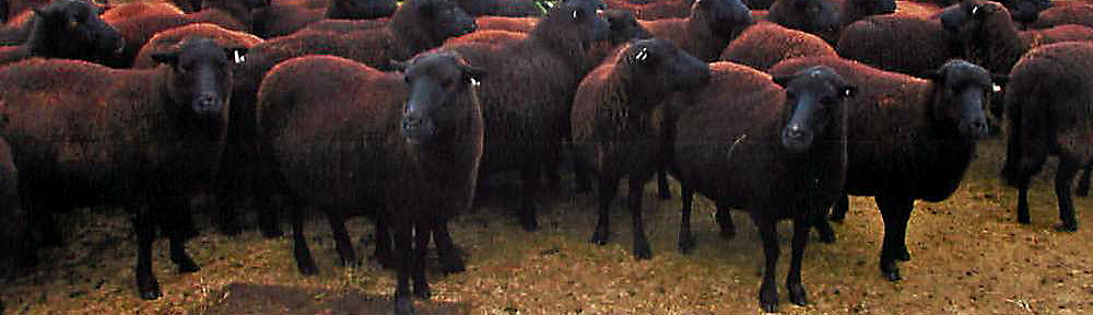 American Black Welsh Mountain Sheep Association